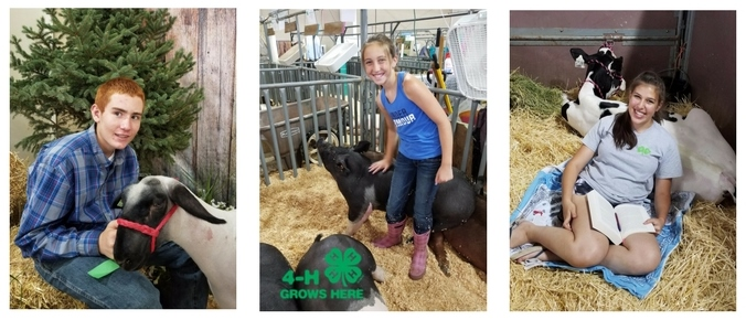 Livestock Project, Larimer County 4-H